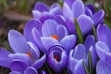 Violette Krokusse mit halboffenen Blüten