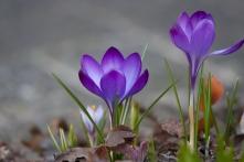 Krokusse mit offener Blüte