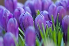 Violette Krokusse mit verschlossenen Blüten